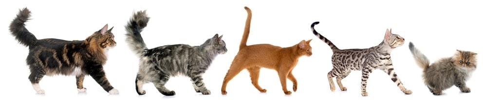 5 verschiedene Katzenrassen