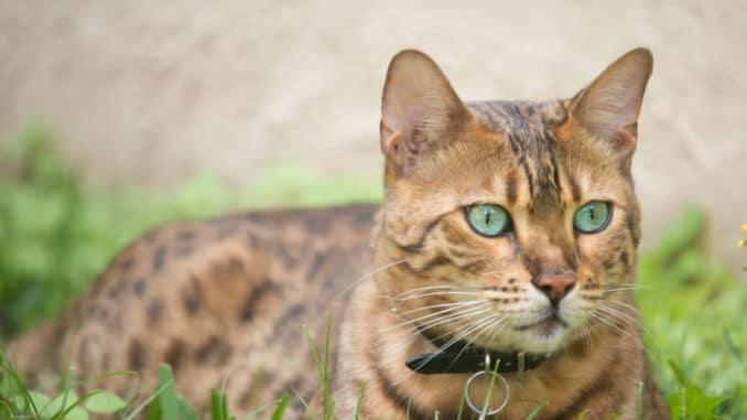 Bengalkatze im Gras