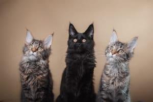 3 Maine Coon Katzen