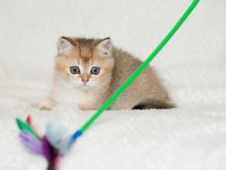 Kätzchen spielt mit Katzenangel