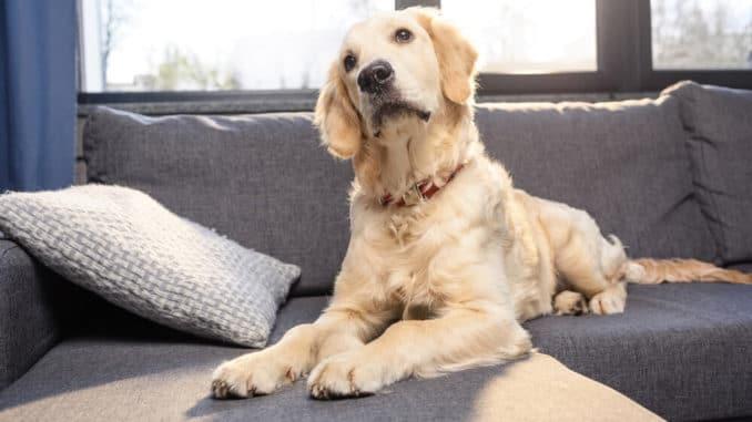 Hund mit Würmern auf Sofa