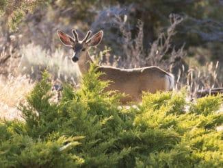 Ein Reh hinter einem Busch
