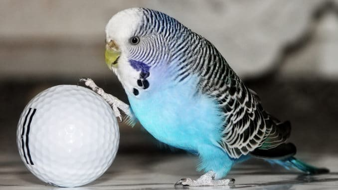Wellensittich spielt mit Ball