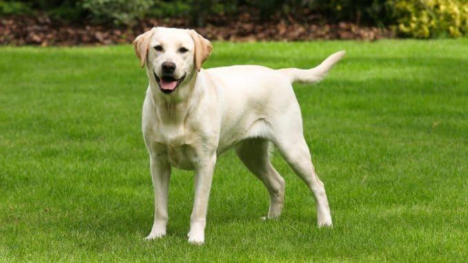 Heller, sandfarbener Labrador
