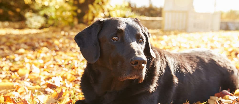 schwarzer Labrador liegt auf Laub