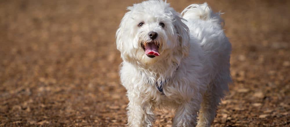 knuffiger Malteser Hund