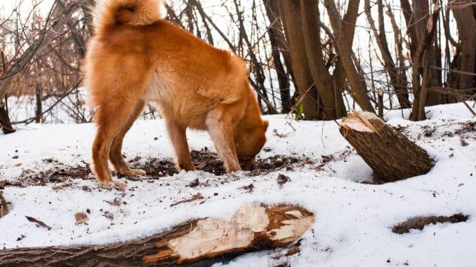Hund frisst Kot im Schnee
