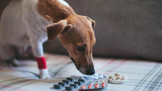 Hund mit Schmerzmittel auf Couch