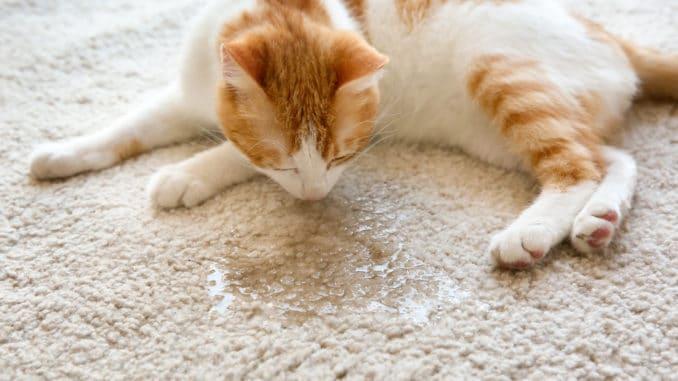 Katze hat auf Teppich uriniert