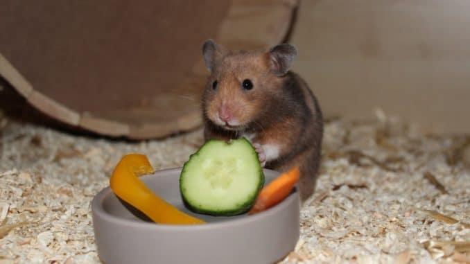 Hamster mit Gemüse