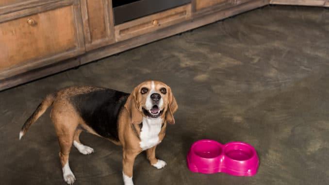 Beagle wartet auf Futter