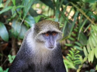 Einige Affen-Rassen sind vom Aussterben bedroht