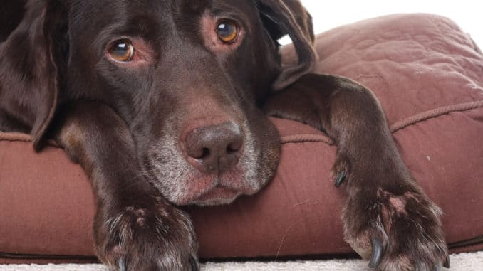 Hyaluronn für alternde Hunde