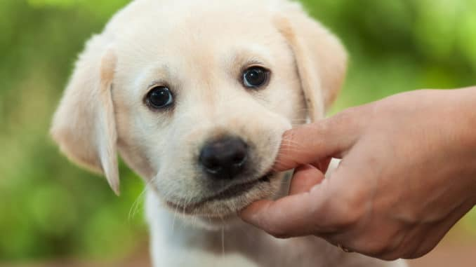 Süßer Labrador-Welpe